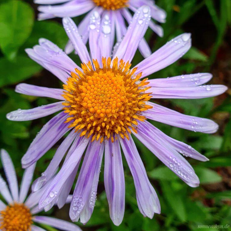 Eine gelbe Blume mit lila Blättern, die überall kleine Regentropfen hat.