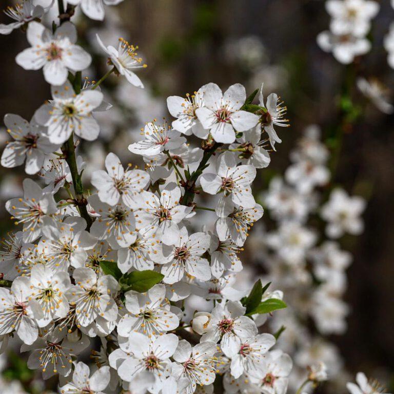 Ein weißer Strauch, der voller Blüten ist.