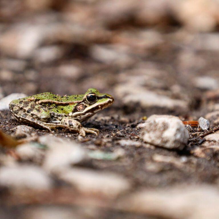 Ein grün grauer Frosch im Profil der auf einem Wanderweg sitzt.