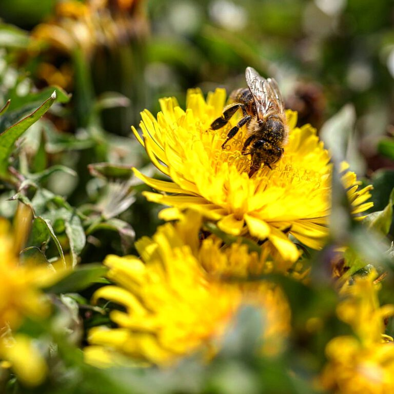 Eine Biene auf einer gelben Blüte.