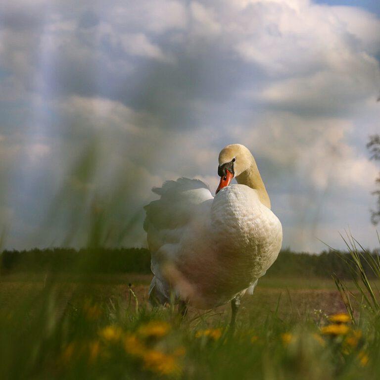 Ein weißer Höckerschwan am Ufer der sein Gefieder putzt.