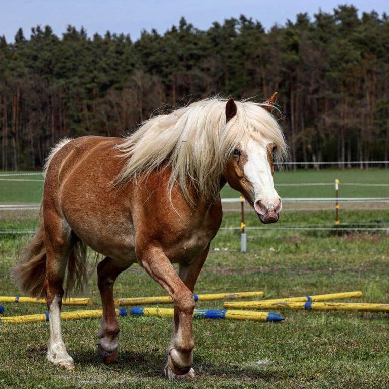 Ein braunes Pferd mit weißer Mähne und Blesse, das über die Wiese trabt.