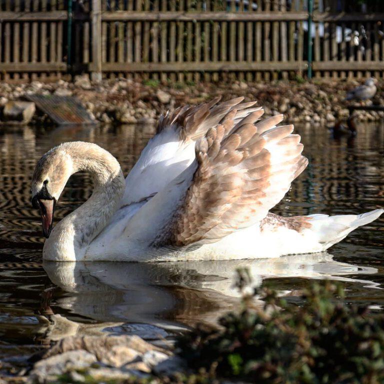 Ein braun weißer Schwan im Profil, der seine Flügel nach oben öffnet und seinen Hals gebogen in Richtung Wasser hat.