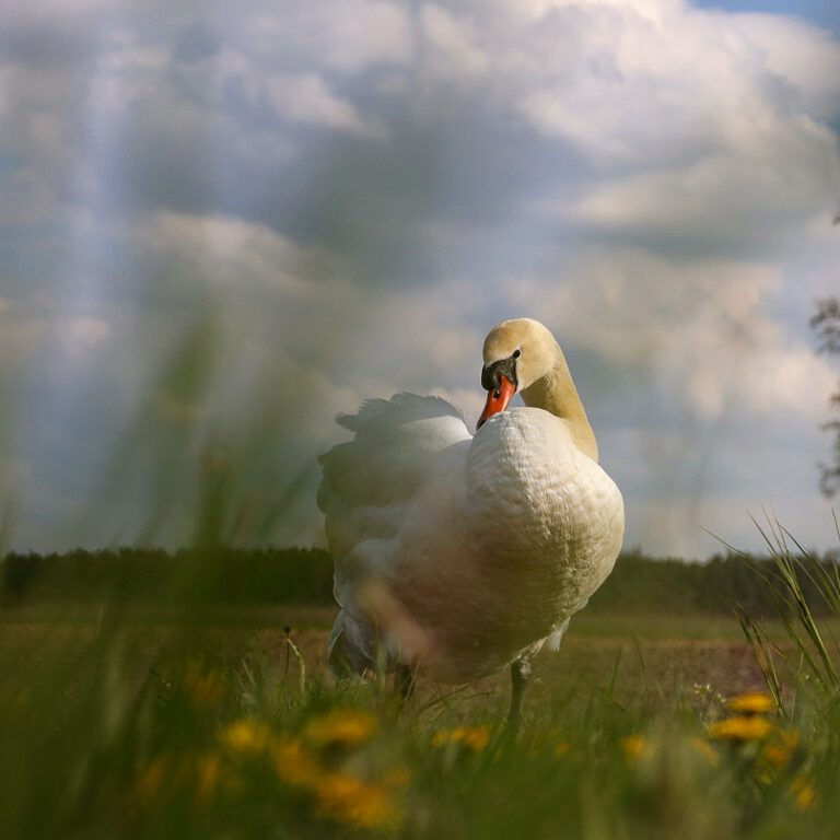 Ein weißer Schwan zwischen gelb grünen Wiesen/Blumen.