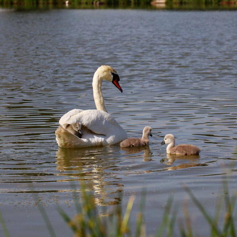 Ein weißer Höckerschwan mit ihren drei Küken. Zwei schwimmen im Wasser, eines sitzt auf dem Rücken der Mama.