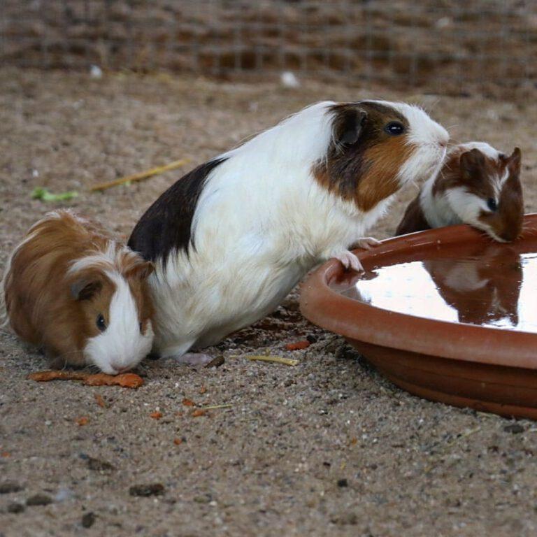 Drei Meerschweinen. Zwei stehen am Trinknapf. Eines mümmelt an einer Möhre.