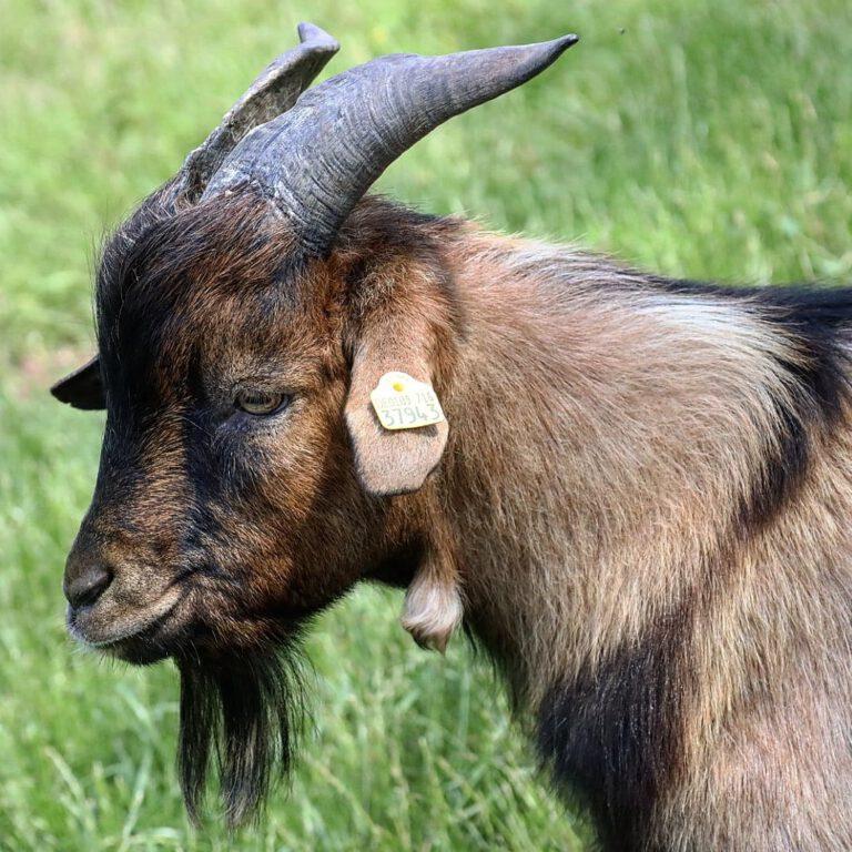 Ein braun schwarzer Ziegenbock im Profil.