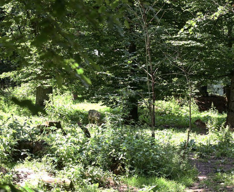 Zwei gut versteckte Wölfe im Gebüsch.