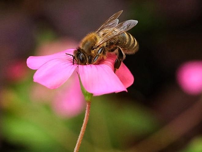 Eine Biene im Profil auf einem rosa Sauerklee.