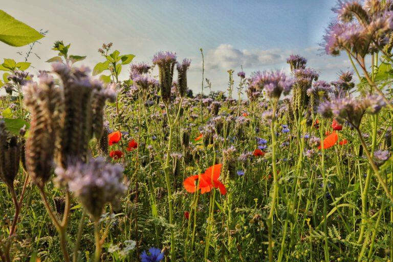 Ein Bild mitten in einer Wildblumenwiese. Sie blüht in rot, blau und lila.