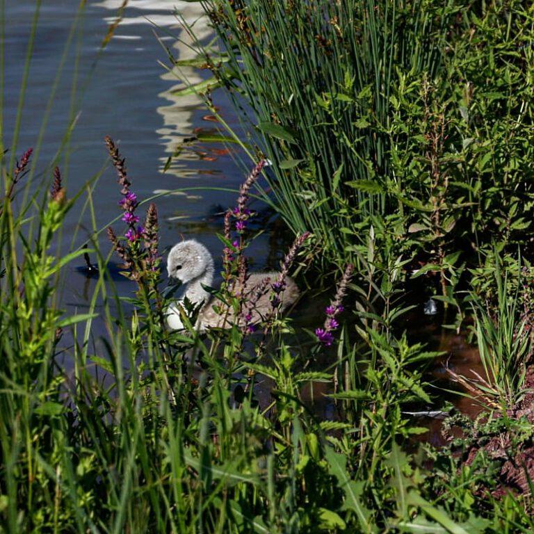 Ein graues Schwanenküken im See zwischen Wasserpflanzen.
