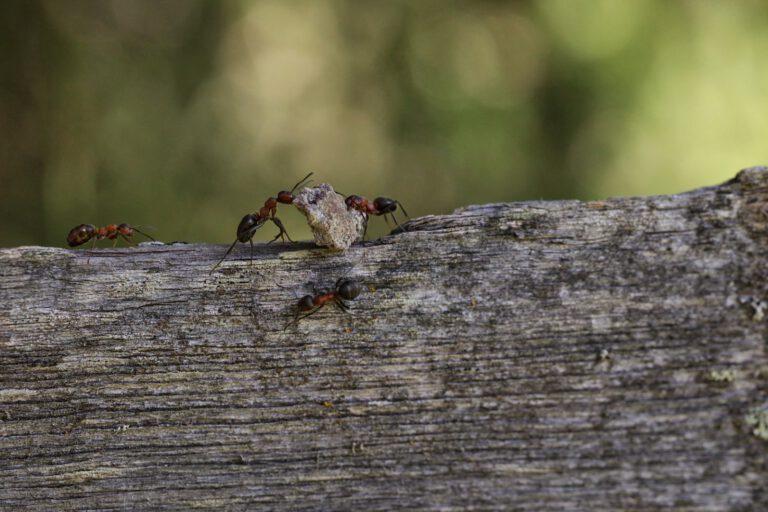 2 Ameisen tragen einen Stein.