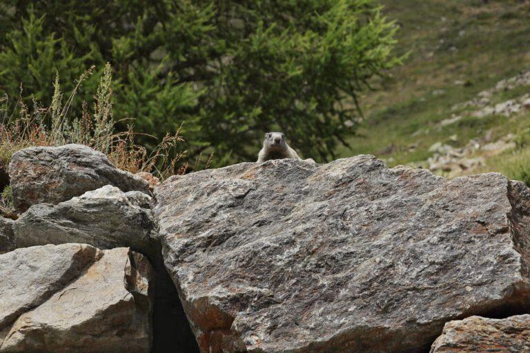 Ein Murmeltier auf einem Fels