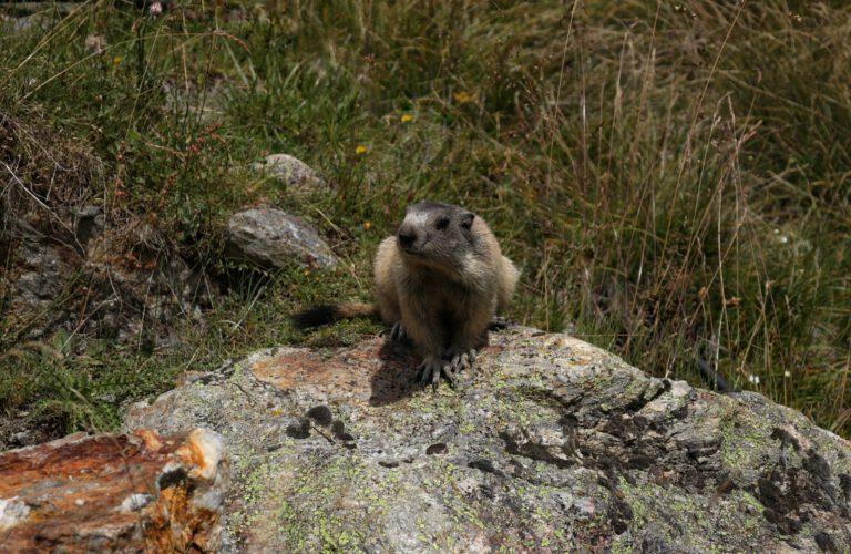 Ein aufmerksames Murmeltier auf einem Fels