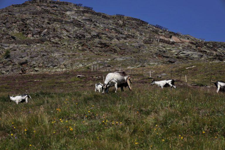 5 Ziegen auf einer Wiese