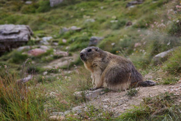 Ein braunes Murmeltier, welches auf einem Stein sitzt und aufmerksam die Gegend beobachtet.